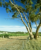 Henschke's 'Hill of Grace' vineyard, Eden Valley, Australia