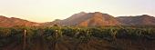 Weinberg der Vina Errazuriz, Aconcagua Valley, Chile