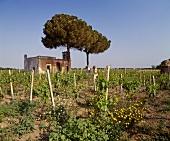 Anbau von Chardonnay, Cosimo Taurino, Guagnano, Puglia, Italien