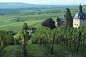 Vineyard, Schloss Vollrads, Rheingau, Germany
