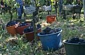 Grape-picking, Weingut Johner, Bischoffingen, Germany
