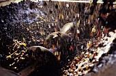Pinot gris grapes in destemming machine, Neuchatel, Switzerland
