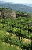 Vineyards on loess terraces in the Kamptal, Austria