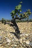 Old Tempranillo vine, Ribera del Duero, Spain