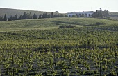 Vines belonging to the Domecq Estate, Jerez, Andalusia, Spain