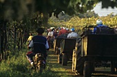 Grape harvest, Colli Etruschi Viterbesi DOC, Lazio, Italy
