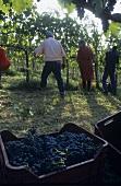 Montepulciano Trauben, Ernte im Weingut Villa Medoro, Italien