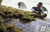 Drying Greco grapes, Fattoria San Francesco, Ciro, Calabria, Italy