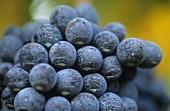 Negroamaro grapes, Apulia, Italy