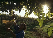 Picking pergola-trained grapes, Colli Etruschi Viterbesi DOC, Lazio, Italy