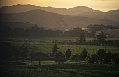 Landscape of vines, Marlborough, N. Zealand
