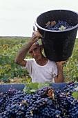Picking Primitivo grapes, Accademia dei Racemi, Manduria, Apulia, Italy