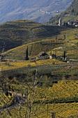 Vernatsch grapes on pergolas, St. Magdalena, S. Tyrol, Italy