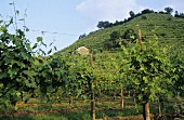 Vines on hillside near Conegliano, Prosecco region, Veneto, Italy