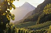 Vineyards in Fläsch, Bündner Herrschaft, Graubünden, Switzerland