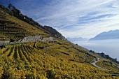 Calamin und Dézaley, Cru Lagen für Chasselaswein, Lavaux, Waadt, Schweiz