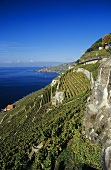 Chasselas on Dézaley Grand Cru site, Lavaux, Vaud, Switzerland