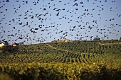 Starlings flying over vineyards, Lavaux, Vaud, Switzerland