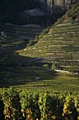 Vines growing on steep slopes, Leytron, Valais, Switzerland