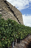 Wine terraces, Gilliard estate, Sion, Valais, Switzerland