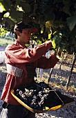Picking Malbec grapes, Familia Zuccardi, Maipu, Mendoza, Argentina