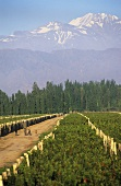 Vines in the Lujan DOC region, Mendoza, Argentina