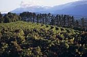 Vineyard of Warwick Estate, Stellenbosch, S. Africa