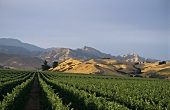Landscape of vines, Brancott Estate, Marlborough, N. Zealand