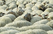 Flock of sheep, South Island, New Zealand
