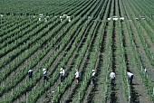 Grape-picking, Mondavi, Oakville, California, USA