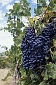 Shiraz vines, McLaren Vale, S. Australia