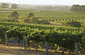 Vineyards with eucalyptus trees, Leeuwin Estate, Margaret River, AU