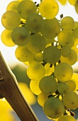 Riesling grapes in sunlight