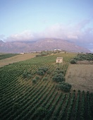 Vineyard near Alcamo, Sicily, Italy