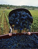 Grape-picker emptying basket of red wine grapes, Burgundy, France