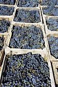 Picked Bonarda grapes, Piacenza, Emilia-Romagna, Italy