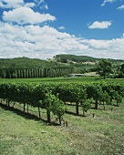 Vineyard, Petaluma Winery, Adelaide Hills, S. Australia