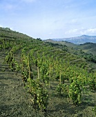 L'Ermita vineyard, Priorato, Spain