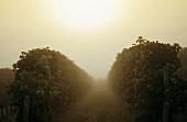 Rows of vines at sunrise, Entre deux Mers, Bordeaux, France