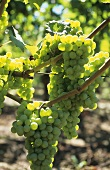 Silvaner grapes hanging on the vine