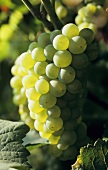 Turruntes de Rioja, DOCa grapes, Rioja