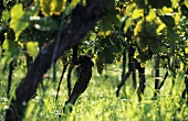 Rows of old Kerner grape vines