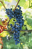 Maturana Tinta grapes, DOCa grape variety from Rioja