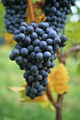Blauer Wildbacher, ripe grapes hanging on the vine
