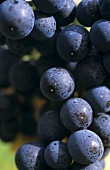 Tannat noir grapes, DOCa grapes from Rioja
