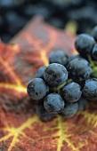 Merlot grapes on a red vine leaf, S. Africa