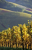 Autumn in vineyard near Durbach, Ortenau, Baden