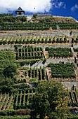 Terraced vines, 'Ihringer Winklerberg', Kaiserstuhl, Baden