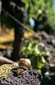 Edible snail on weathered volcanic rock in vineyard