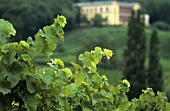 Vines with Villa Ludwigshöhe, Edenkobe, Palatinate, Germany
